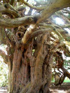 The Yew Tree